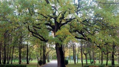 """Photo of Primăria """"botează"""" șase stejari din Crâng. Toți buzoienii sunt invitați"""